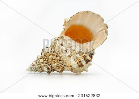 Sea Shell Side View Isolated On White.