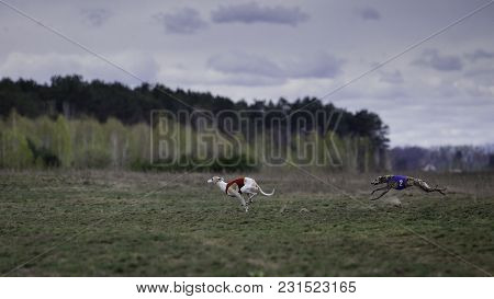 Coursing, Passion And Speed. Whippet Dog Running In The Field. Sunny Day