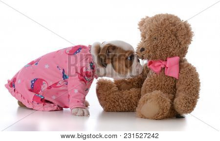 bulldog puppy ready for bed with teddy bear on white background
