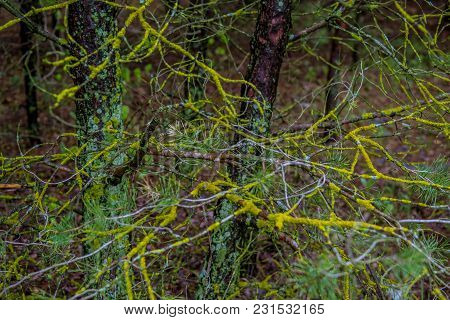 Yellow Gold Fungus And Green Moss Growing On A Tree Branch With Blurred Background. Macro Photo