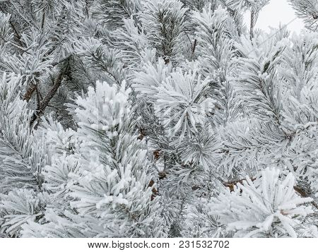 Frozen Coniferous Branches In White Winter. Forest