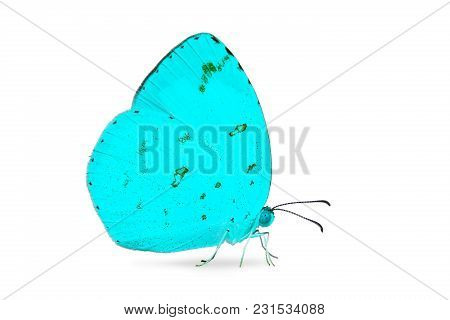 Close Up Of Abstract Teal Color Common Grass Yellow (eurema Hecabe) Butterfly, Isolated On White Bac