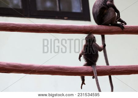 Cute Monkey Holding The Mother Tail, Leaf Monkey Or Dusky Langur Wildlife In Thailand.