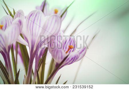 Flower crocus in spring season