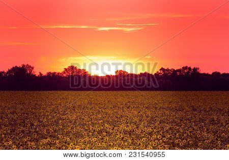 Yellow Field Of Sunflowers At Sunset With Red Sky