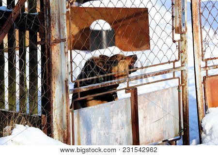 The Black And Brown Barking Dog Behind Metal Fence Because He Feel Threatened.
