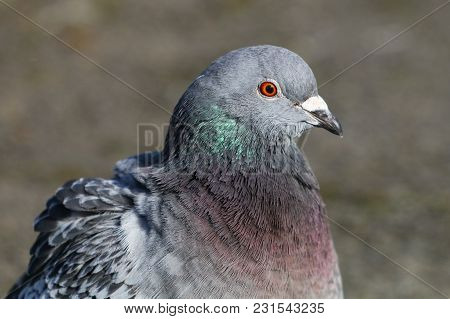 A Pigeon With Green And Purple Iridescent Feathers On Its Nape