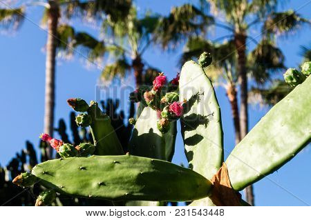 Cactus - Mother In Law Seat- On The Canary Islands You Will Find Many Different Cactus