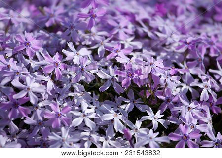 Macro Image Of Spring Lilac Violet Flowers Over Abstract Soft Floral Background