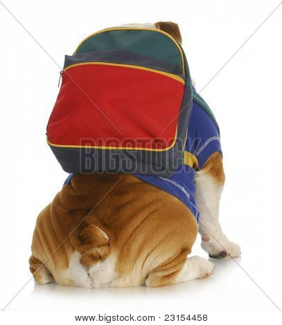 dog obedience school - english bulldog with back to viewer wearing colorful backpack on white background