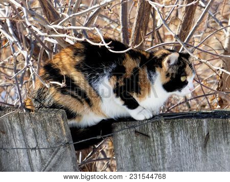 Three-colored Cat Sitting On Wooden Fence With Barbed Wire. Fat Pet Hiding Among Naked Branches. Sun
