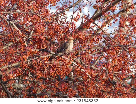 Bohemian Waxwing (bombycilla Garrulus) Hiding Among Branches Of Rowan. Blue Sky At The Back. Chubby