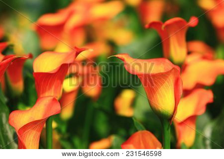 Calla Lily Field Closeup,beautiful Yellow With Red Flowers Of Calla Lily Blooming In The Garden In S