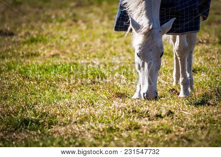A White Horse Grazing On A Virginia Field In The Mornging Sun.
