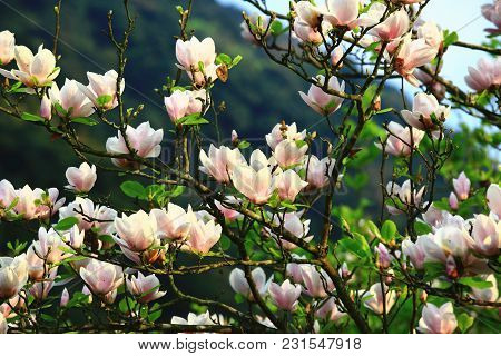 Lotus-flowered Magnolia Flowers Field Closeup,beautiful White With Purple Flowers Of Lotus-flowered