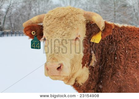 Hereford Bull in the Snow