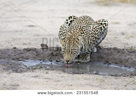 Leopard Drinking Water From A Small Pool After Hunting