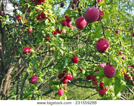 The Plum Trees Which Are Plentifully Covered With Ripe Fruits In A Garden