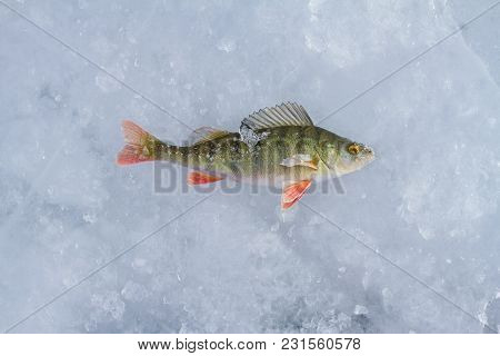 A Perch With Pieces Of Ice Caught While Fishing Is On The Ice Of Lake Baikal In The Winter On The Is