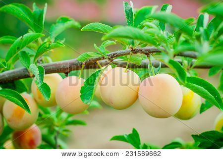 Many Ripe Yellow Plums On A Branch In The Foliage Of A Tree On A Summer Sunny Day