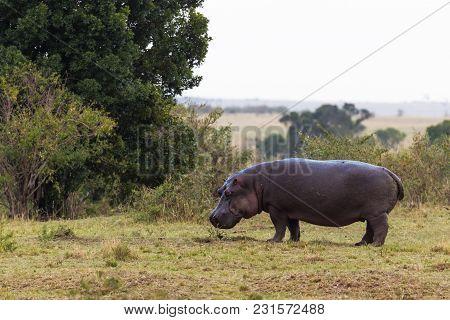 Lonely Hippo Oh Shore Of Mara River. Kenya, Africa