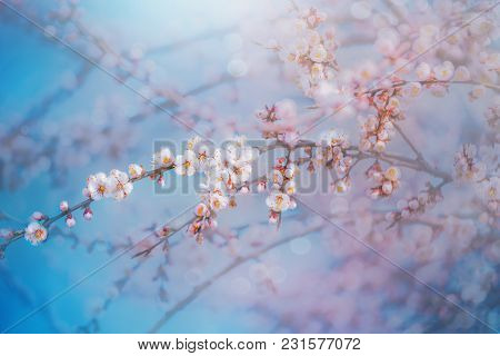 White Apricot Flowers. Beautiful Flowering Apricot Tree. Background With Blooming Peach Flowers In S
