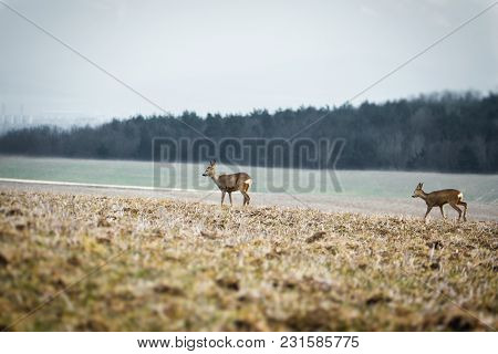 Illuminated Deer Does Feeding On The Meadow In Foggy Winter Time With Forest On Background. Image Of