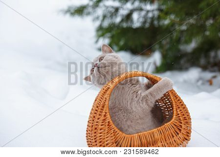 Purebred Cats. Pet. The Cream Color Scottish Strait Cat Sits In A Wicker Basket. A Playful Kitten