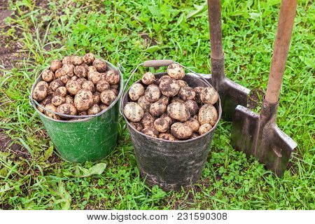 Freshly Dug Potatoes In Metal Buckets And Shovels At The Vegetable Garden