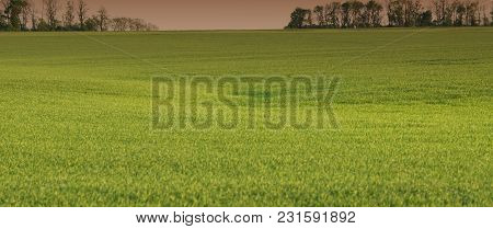 Wheat Field. Spring Season, In The Countryside. Panoramic And Web Banner Format.