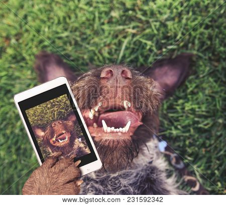 german wire haired griffon out in nature on his back in the grass with his tongue hanging out of the side of his wet mouth taking a selfie toned with a retro vintage instagram filter app or action eff