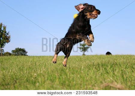 Funny Wire Haired Dachshound Is Jumping In The Garden