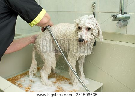 Small White Dog Being Washed In A Grooming Parlor