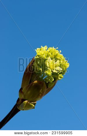 Spring Bloom On Tree Branches Fresh Green Buds. Blue Sky. Shallow Depth Of Field.