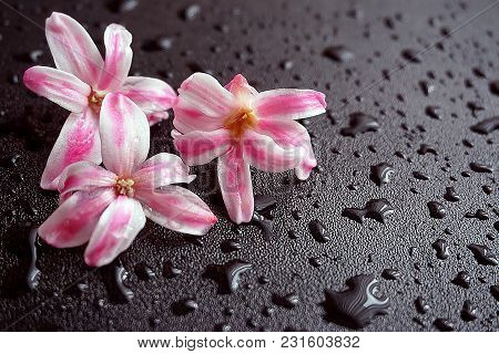 Pink Orchid Flowers And Water Drops On Black Background. Background For Spa Treatments.