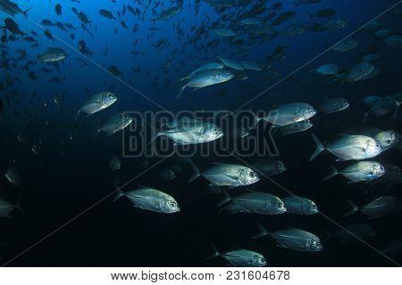 Trevally fish school (Jack fish)