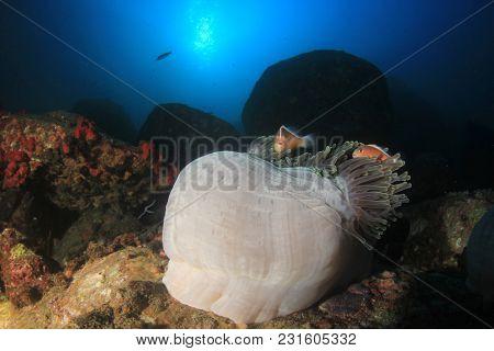 Skunk Anemonefish and anemone
