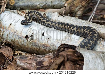 Common European Adder (vipera Berus) Basking In Silver Birch Logs