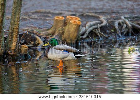 Close-up Of A Beautiful Mallard Duck On A Stone. View To A Beautiful Brown Duck At The Lake In Sprin