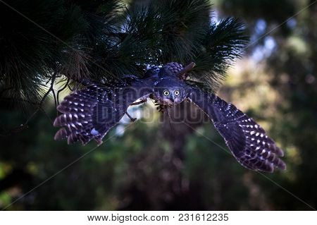 An Owl In Flight From A Pine Tree Perch