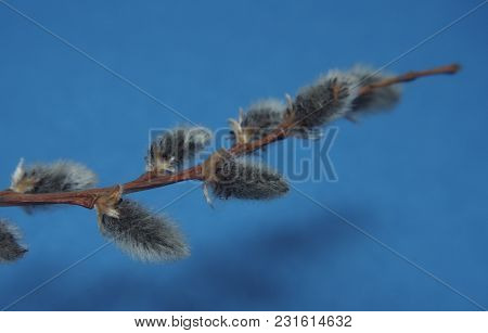 Willow Twig With Blooming Flowers. Photo On A Blue Background.