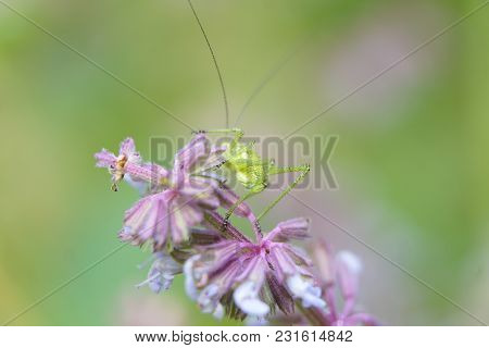 Grasshopper On A Branch With A Flower Bokeh. Macro View