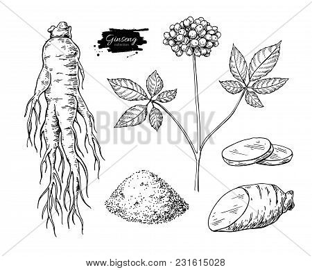 Ginseng Vector Drawing. Medical Plant Sketch. Engraved Botanical Object. Hand Drawn Root, Berry, Sli