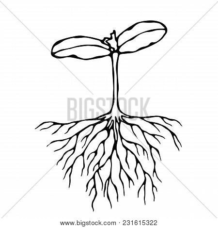 Vector Illustration Of Sprout With Three Leves And Roots. Seedling, Shoot, Gardening Plant. Trees, F