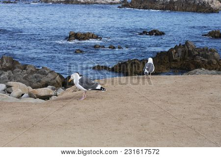 This Is An Image Of Two Sea Gulls Looking For Food On The Coast Of Pacific Grove, California.