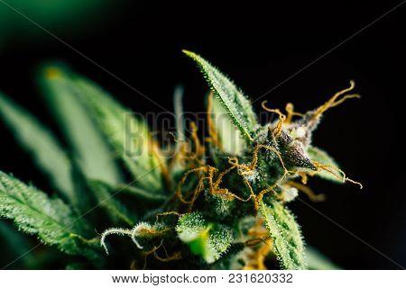 Medicinal Macro Buds Of Marijuana Trichomes Cbd Thc. Concepts Of Legalizing Herbs Weed, Bud Cannabis