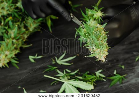 Trimming Cannabis Medical Marijuana Plant With Flowering Buds By Hand