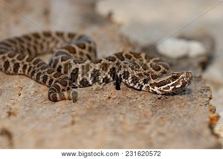 A Juvenile Western Massasauga Rattlesnake From Northern Missouri.