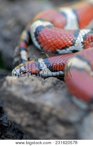 A Red Milk Snake From Western Missouri Attempting To Hide Behing A Rock.