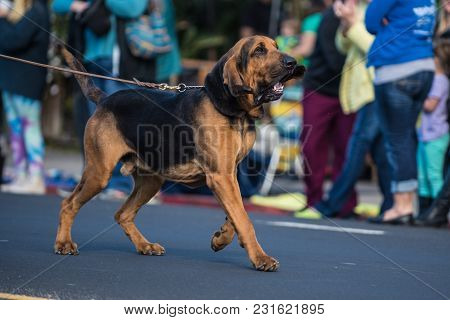 Large Bloodhound Dog With Big Floppy Ears, Pulling On Leash During Street Parade.